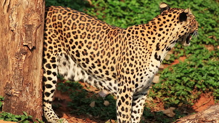 Indochinese Leopard.