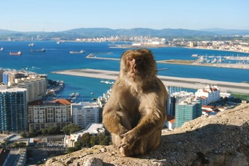 Gibraltar Barbary Macaque ape sitting
