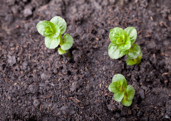 Three mint plantlet