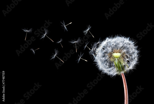 Dandelion Flying © bessi7