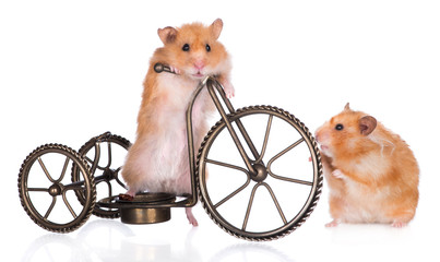 two red hamsters with a bicycle