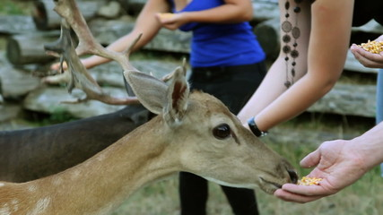 HD1080p: Young woman feeding deer with corn
