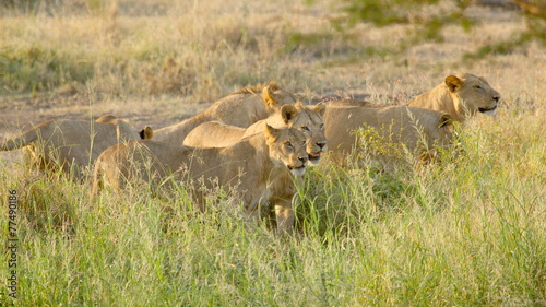 Fotobehang Leeuw Pride of young male lions ready for the hunt