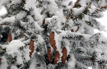 fir with cones in the snow
