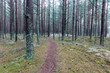 trail in the winter pine tree forest