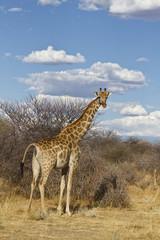 Giraffe in Afrika