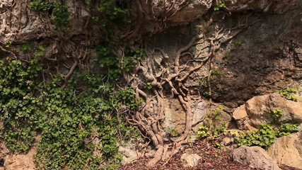 Composite shot of the roots of an old tree with some ivy  growing on the roots
