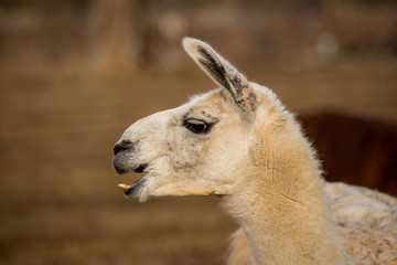 white llama head shot profile laughing