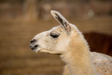 white llama head shot profile pursed lips