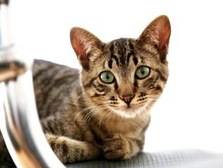 Gato domestico em closeup