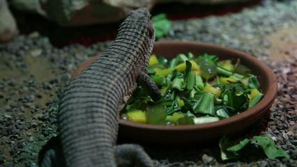 Lizard eating salad
