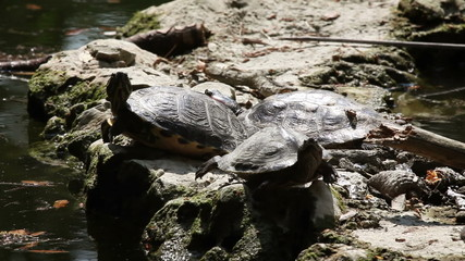 Shot of the turtle walking on the rock