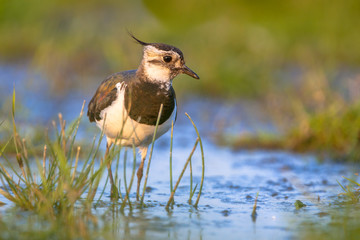 Lapwing wading in shallow water