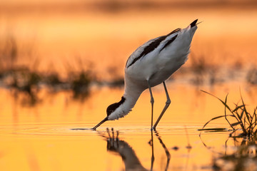 pied avocet picking up food from water