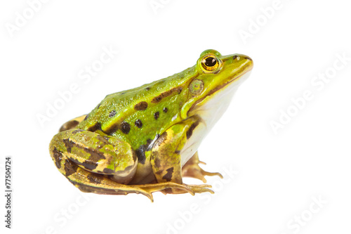 Foto op Canvas Kikker Pool frog male