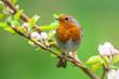 Leinwanddruck Bild - Robin on a branch with white flowers