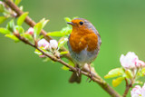 Fototapety Robin on a branch with white flowers
