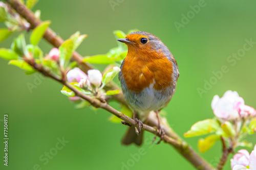 Leinwanddruck Bild Robin on a branch with white flowers