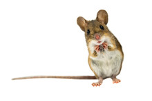 "Постер, картина, фотообои ""Surprised Field Mouse with clipping path"""