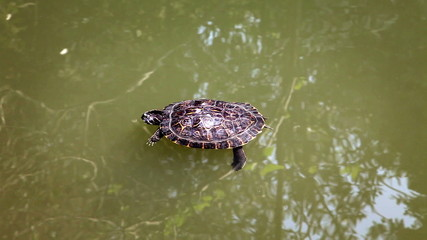 Shot of the turtle swimming in the pond