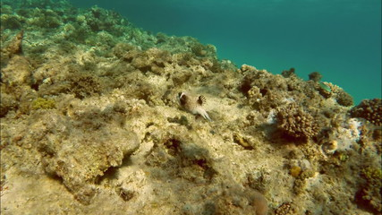 Black Spotted or Dog Faced Puffer fish (Arothron nigropunctatus)