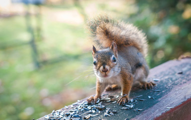 A red squirrel comes by to eat seeds and have a talk.