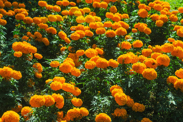 Marigold yellow flowers in the garden.