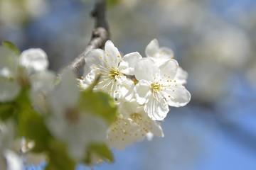 apple tree flowers In the beginning of spring season