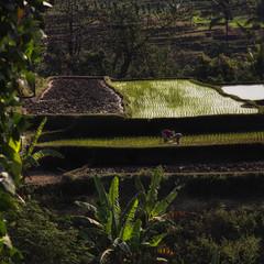 Reisfeld Armut Indonesien Trockenheit