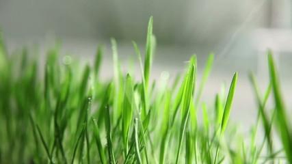 Close up of spraying grass' blades in kitchen