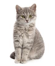 "Постер, картина, фотообои ""Gray cat sitting"""