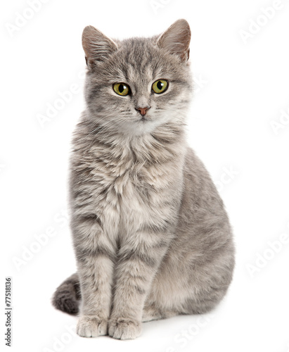 Gray cat sitting - 77518136