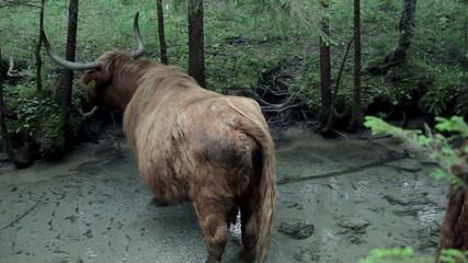 Big brown bull enjoying chilling in fresh river