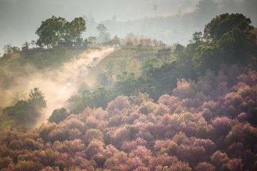 Pink sakura blossoms and car in Thailand