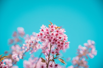 Pink sakura blossoms in Thailand