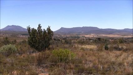 Protea bush in the Karoo