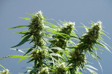 сannabis plant