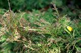Dieback of shoots juniper