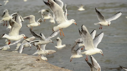 Flock of Seagulls at the Danube river bank, flapping their wings