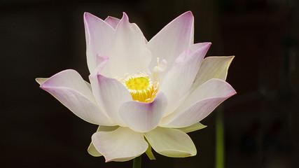 Fleur de lotus éclose, La Réunion