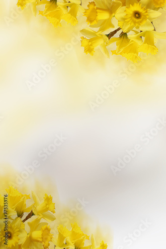 Fotobehang Narcis background with Yellow daffodils, for Your text