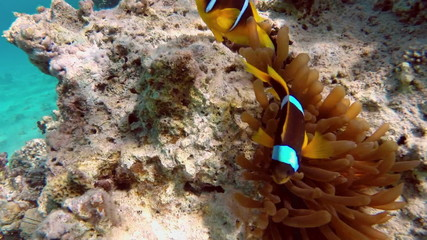 Clownfish shelters and anemone on a tropical coral reef in Red S