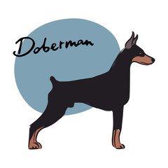 Doberman, vector illustration