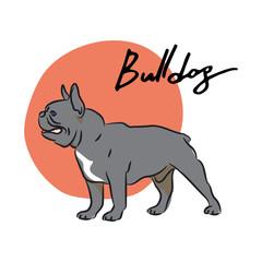 Bulldog, vector illustration