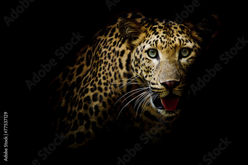 Close up portrait of leopard with intense eyes - 77537129
