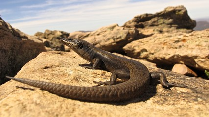 Lizard at Lucky Bay, Cape Le Grand NP, West Australia