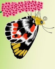 butterfly, delias harpalyce