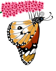 butterfly, danaus chrysippus