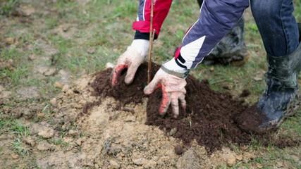 Adding fresh soil to plantation of raspberries
