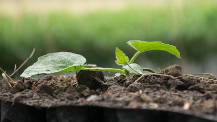 Seedling of cucumber.